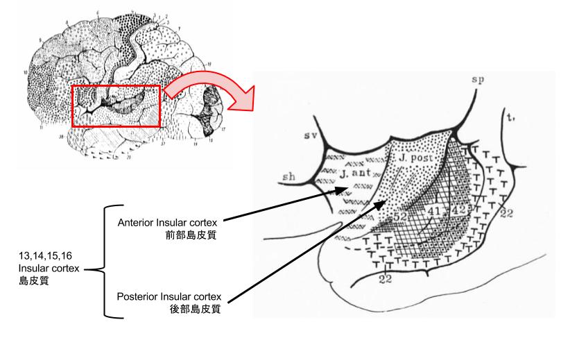 (ブロードマンの脳地図における島皮質)